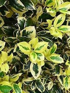 Immergrüne Hecke Pflegeleicht : gro bl ttrige stechpalme stechdorn 39 golden king 39 stechpalme ilex immergr ne ~ Markanthonyermac.com Haus und Dekorationen