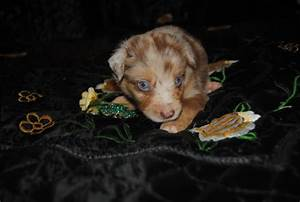 God Said Let There Be Light And It Was Lit Shamrock Rose Aussies Update We Have Puppies Born 5