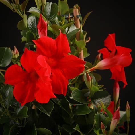 Kletterpflanzen Mit Blüten by Kletterpflanzen Mandevilla Diamantina Topaze Vermillion