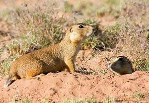 Prairie Dogs of the Southwest - Introduction (U.S ...