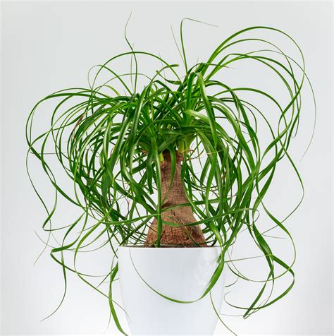 august plant   month pony tail palm interiorscapes