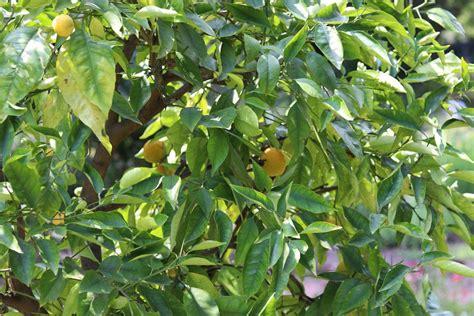 hortensien erfroren was tun frostsch 228 den am zitronenbaum was tun wenn er erfroren ist