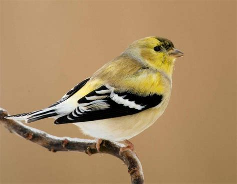 american goldfinch mdc discover nature