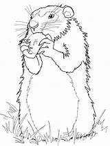 Groundhog Coloring Pages Drawing Woodchuck Groundhogs Ground Hog Gopher Apple Realistic Squirrel Printable Eats Arctic Sheets Standing Pooh Winnie Adult sketch template
