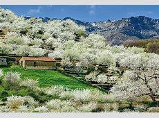 Valle del Jerte Dónde y cuándo ver los cerezos en flor en