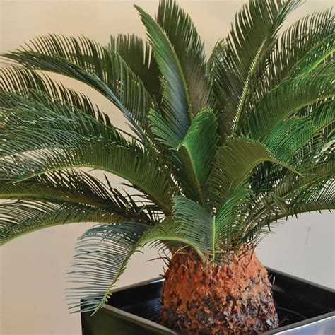toxic houseplants sago palm cycas revoluta common