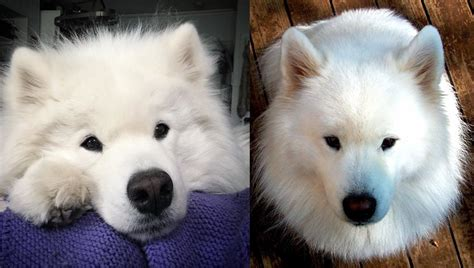 11 Things That You Have To Endure Of Your Samoyed For Real