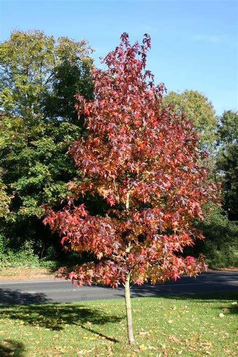 liquidambar styraciflua worplesdon amberboom kopen