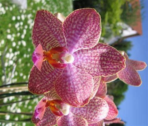 foto foto bunga anggrek