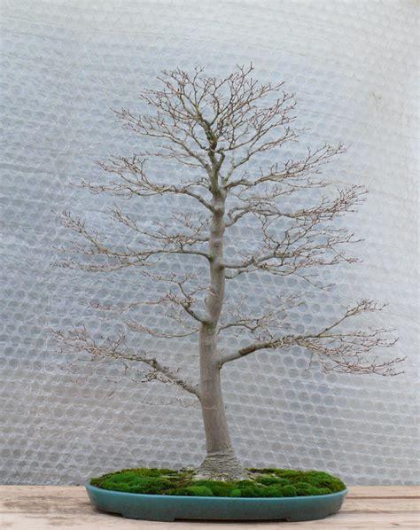 taille des citronniers en pot un 233 rable japonais nomm 233 momiji san petit arbre