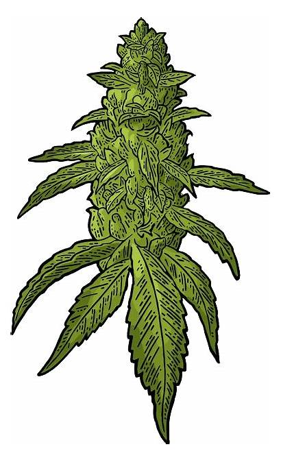 Weed Transparent Clipart Vector Buds Cannabis Seed