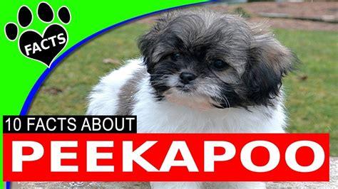 designer dogs  peekapoo  popular doodle dog breeds