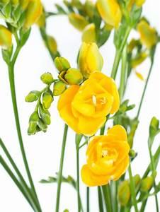 Blumen Im November : freesien soleil gelb pinterest flowers and flora ~ Lizthompson.info Haus und Dekorationen