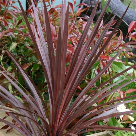 zone 10 shade plants cordyline australis quot red star quot sun to part shade grows 24 quot 36 quot tall allow soil to dry between