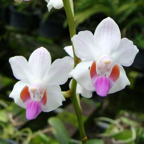 care for orchids 9 best orchids orchid care images on pinterest caring for orchids orchid care and lilies