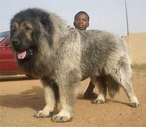caucasian ovcharka dog breeders puppies caucasian ovcharka dogs at the