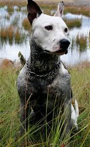 Blue Heeler Pitbull Mix Pictures | Dogs | Pinterest ...