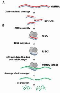 RNA-interference - Catecholaminergic Polymorphic ...