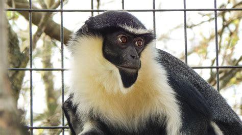 diana monkey potawatomi zoo