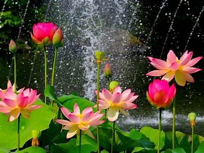Lotus Flower Wallpapers Wallpapertag Widescreen