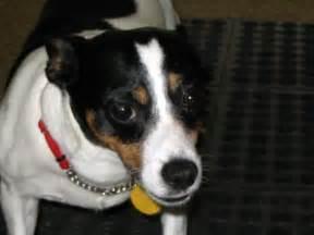 Jack Russell Rat Terrier Mix