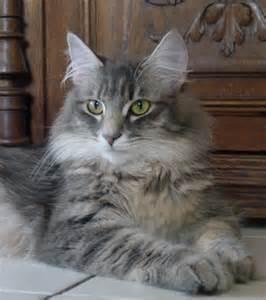 Norwegian Forest Cat Grey Tabby