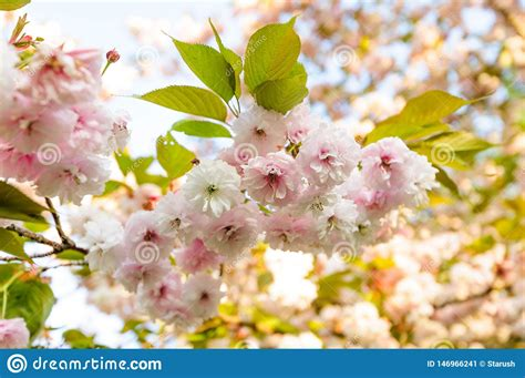 Sakura Cherry Blossom Branch In The Sunset Rays Stock