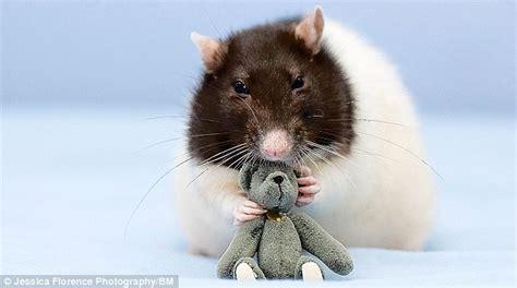 rat walk rodent strikes  pose  budding fashion
