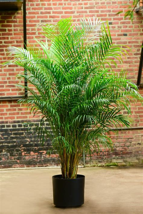 areca palm interior foliage design