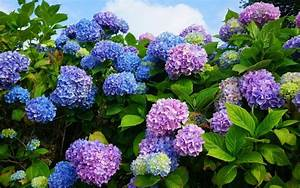 Sind Hortensien Winterhart : krankheiten bei hortensien hortensien standort blaue ~ Lizthompson.info Haus und Dekorationen