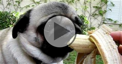 fruits  dogs   benefits pug fan club