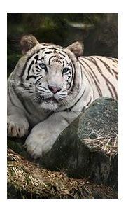 White Bengal Tiger 4K Wallpaper, Zoo, White tiger, Wild ...