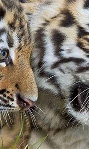 Wildlife snapshots | Zoo babies, Animal photo, Tiger
