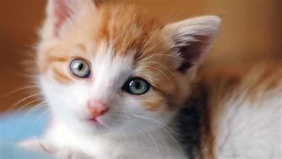 Cat Kittens Wallpapers Adorable Cats Kitten Brown