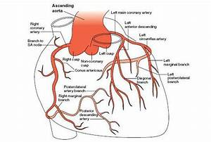 Coronary Arteries Of Human Heart And 12