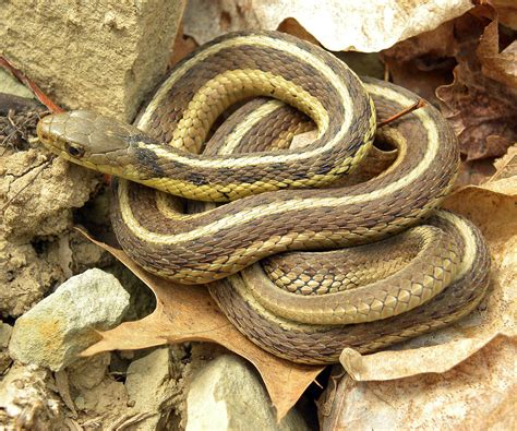 Black Garden Snake by Common Garter Snake