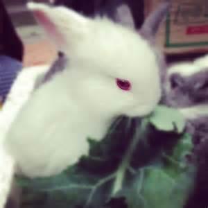 Red-Eyed Rabbit