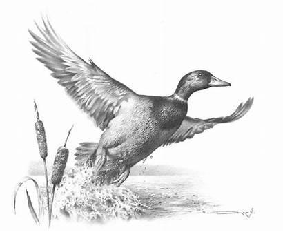 Duck Mallard Drawing Pencil Mayer Jr Realistic