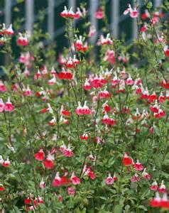 Salvia Hot Lips Plant