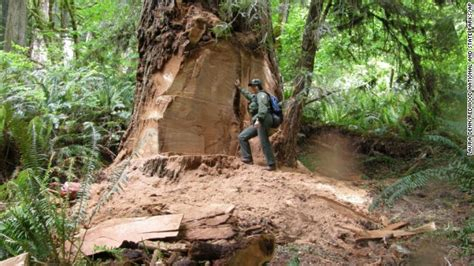 Fw Stands For by Poachers Take Chunks From California Redwoods Putting
