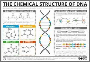 Dna Structure  U0026 Function  A Simple Guide For Beginners