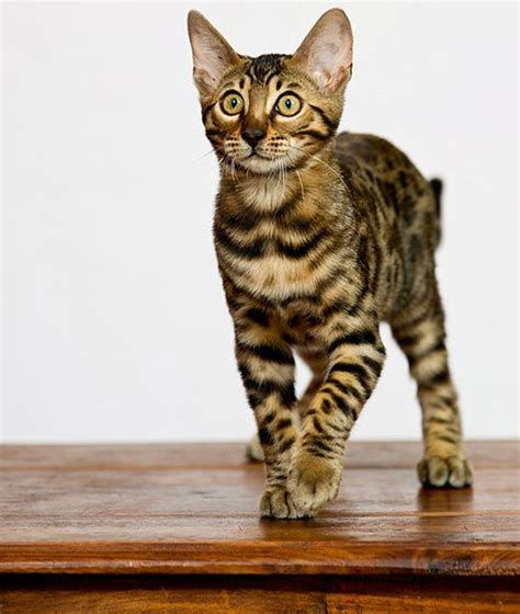 cat breeds that don t shed 10 hypoallergenic cats best cats for with allergies