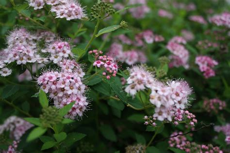 pink flowering shrubs shrub donna s garden