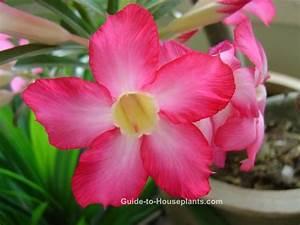 Desert Rose Plant Care, Desert Rose Flower - Adenium obesum