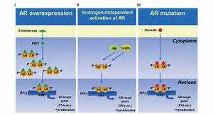 CH5137291, an androgen receptor nuclear translocation-inhibiting ... Tamoxifen