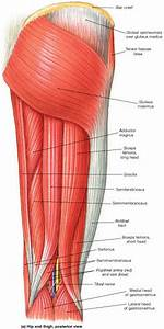 Elbow  Radioulnar Joint  U0026 Knee Joint Muscles  U0026 Actions