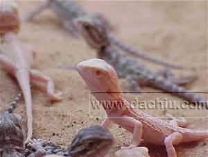 Albino Bearded Dragon