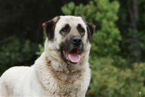 anatolischer hirtenhund charakter wesen hunde fande