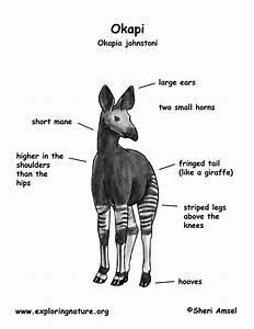 okapi With giraffe diagram