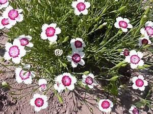 Saatgut Samen Zweifarbige Heidenelke - Dianthus deltoides ...